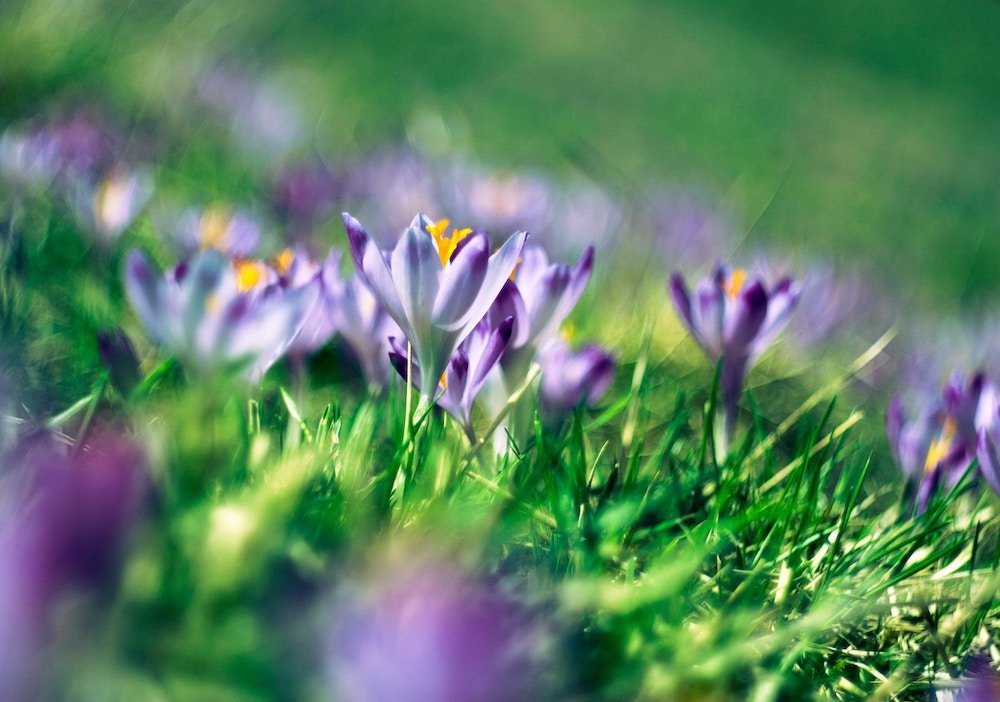 best time to sell house - spring crocuses