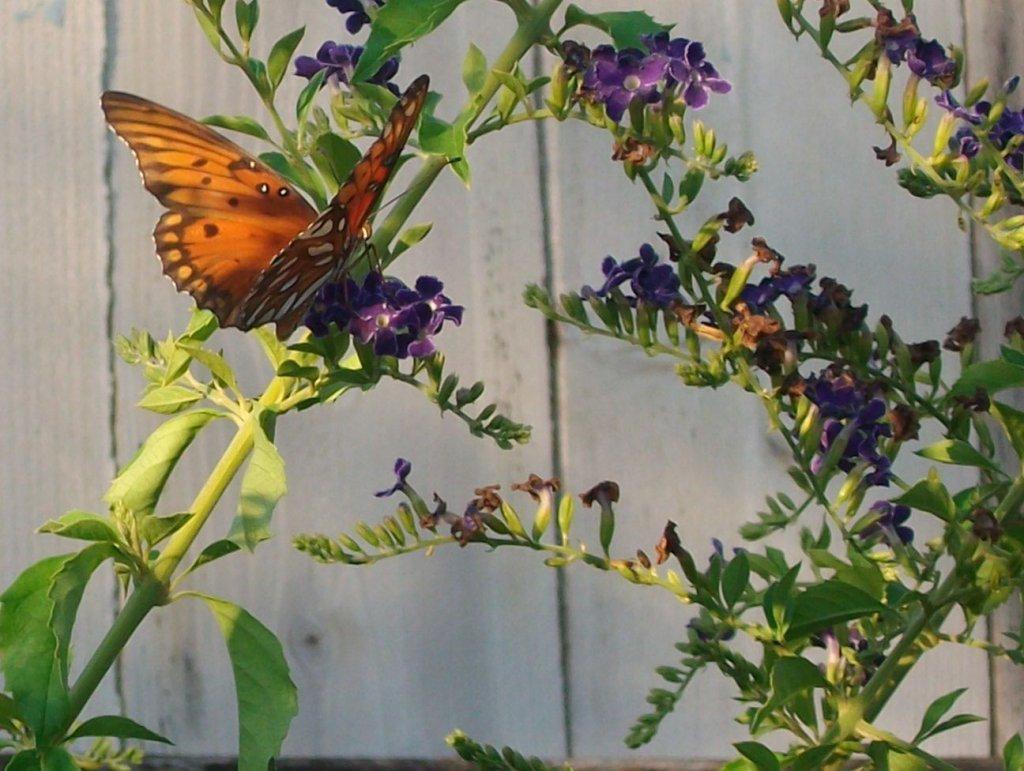 Floresville TX butterfly