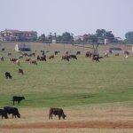 Floresville Tx cattle in field